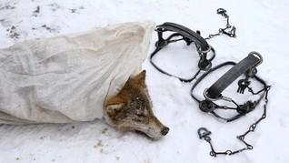 Kisah Pemburu Serigala di Tepi Wilayah Chernobyl