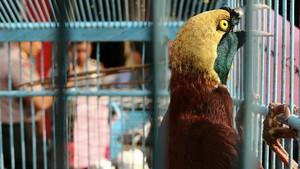 Cerita 'Birdwatching' dan Ancaman Punah Burung Wallacea-Papua