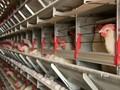 Mengenal Flu Burung yang Mewabah di China