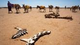 Di tengah perang saudara selama 25 tahun dan pertempuran melawan pemberontak Islamis, Somalia dilanda bencana. (The International Federation of Red Cross and Red Crescent Societies/Handout via REUTERS.)