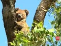 Perubahan Iklim Membuat Koala Kesulitan Mencari Sumber Air