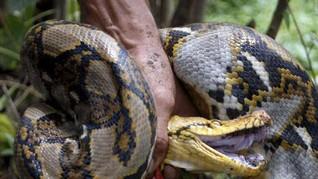 6 Ular Mematikan Selain Kobra yang Tewaskan Pemuda di Depok