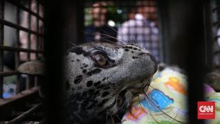 Perburuan Satwa Ilegal Ujung Kulon Libatkan Oknum Pamen Polri