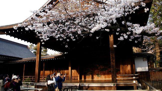 Pilihan Tempat Melihat Bunga Sakura di Indonesia