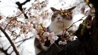 7 Lokasi Ideal untuk 'Hanami' di Jepang