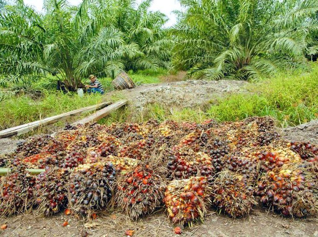 Parlemen Uni Eropa mengeluarkan resolusi sawit dan pelarangan biodiesel berbasis sawit, dengan sorotan utama Asia Tenggara, terutama Indonesia. Ia menyebut komoditas kelapa sawit jadi penyebab deforestasi hutan. (Foto: dok. GAPKI)