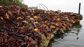 Serbuan Kepiting di Playa Giron Kuba