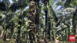 Dari Ribuan, Baru 413 Produsen Sawit 'Ramah Lingkungan'