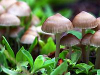 Magic mushroom atau Psilocybin mushrooms adalah sejenis jamur yang tumbuh di kotoran hewan. Jamur tersebut mengandung zat aktif bernama psilosibina yang bisa menimbulkan efek halusinasi tingkat tinggi sesuai dengan situasi psikologis saat mengonsumsinya. (Foto: Ilustrasi/iStock)