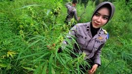 Polisi Temukan Ladang Ganja 7 Hektare di Aceh