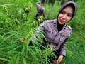 Ladang Ganja di Aceh Bakal 'Disulap' Jadi Objek Wisata