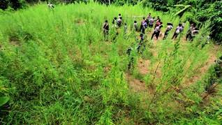 Ladang Ganja 20 Hektare Ditemukan di Bireuen Aceh