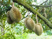 Durian sangat baik untuk orang-orang dengan anemia karena mengandung asam folat yang dibutuhkan dalam produksi hemoglobin seseorang. Foto: Thinkstock