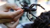 Di Kampong Thom, tarantula sudah menjadi komoditas. Bukan sebagai hewan peliharaan eksotis, melainkan sebagai menu kuliner tradisional.