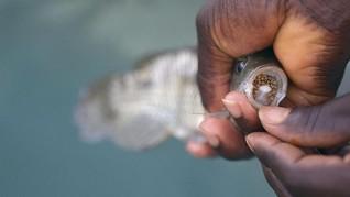 KKP Periksa Ikan Nila & Mujair Siap Jual demi Cegah TiLV