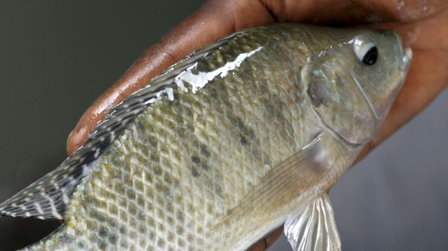 Cerita Aji Susanto Hadapi Tantangan Budidaya Ikan Nila