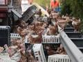 Ribuan Ayam Sebabkan Kemacetan Panjang di Austria