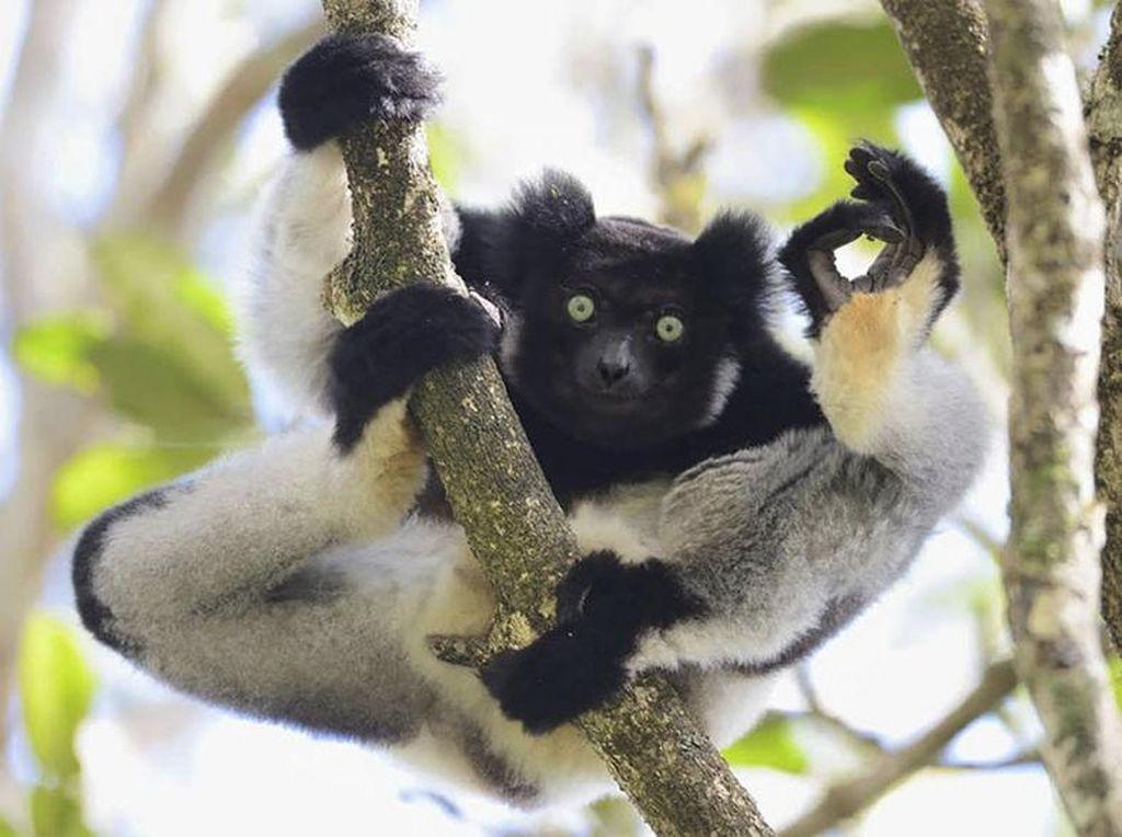 Im Ok! Sepert itulah kira-kira yang disampaikan oleh koala lucu ini yang dimbail di Madagaskar Karya fotografer Yamamoto Tsuneo. (Foto: Comedy Wildlife Photography 2017)