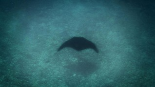 Langkah Penanganan Sengatan Makhluk Laut