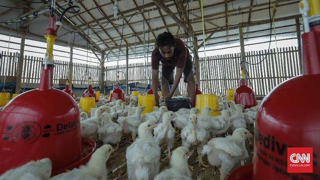 Peternak Ayam Kritis, Pembibit Diminta Lakukan Afkir