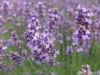 Tanaman ini membantu mengurangi kecemasan dan stres, dengan demikian memelihara lavender di kamar bisa membantu Anda tidur lebih nyenyak. Satu penelitian bahkan membuktikan bahwa tanaman ini bisa membuat bayi tidur lelap dan mengurangi stres pada ibu muda. Foto: Baban Gandapurnama