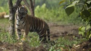 Enam Petani Sumsel Terjebak Semalaman di Kebun karena Harimau