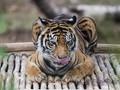 Si 'Kucing Besar' di Ambang Mara Bahaya