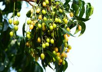 Pohon Neem memurnikan udara pada malam hari dengan memancarkan oksigen. Secara ilmiah pohon Neem juga berfungsi sebagai pestisida alami. Foto: Thinkstock