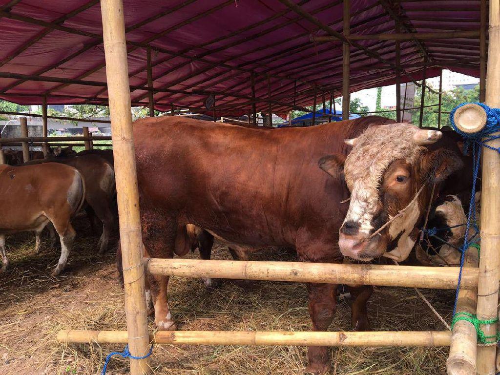 Sapi-sapi yang dijual pada kisaran harga Rp 16 juta dengan bobot 270 kg, sampai harga Rp 55 juta dengan berat jumbo 900 kg.