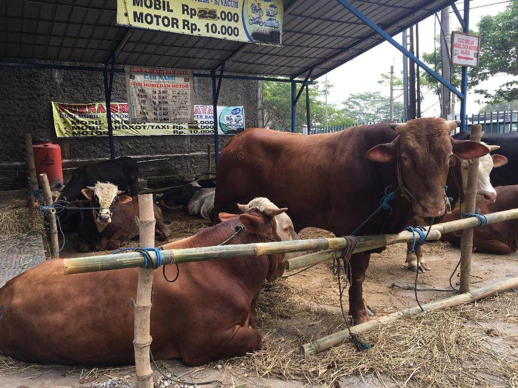 Di Jakarta, sejumlah lahan kosong mulai beralih fungsi jadi tempat berjualan pedagang hewan kurban musiman. Pencari hewan kurban di ibu kota tak perlu jauh-jauh pergi mencari.