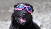 Bahkan anjing pun diberi kacamata pengaman agar bisa ikut menyaksikan momen langka ini dengan aman. Alhasil, Madison pun sukses menyaksikan gerhana ini kemarin dari Nashville, Tennessee.