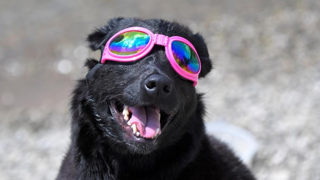 <p>Bahkan anjing pun diberi kacamata pengaman agar bisa ikut menyaksikan momen langka ini dengan aman. Alhasil, Madison pun sukses menyaksikan gerhana ini kemarin dari Nashville, Tennessee.</p>
