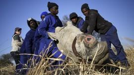 FOTO: Cula Badak Dilelang di Afrika Selatan