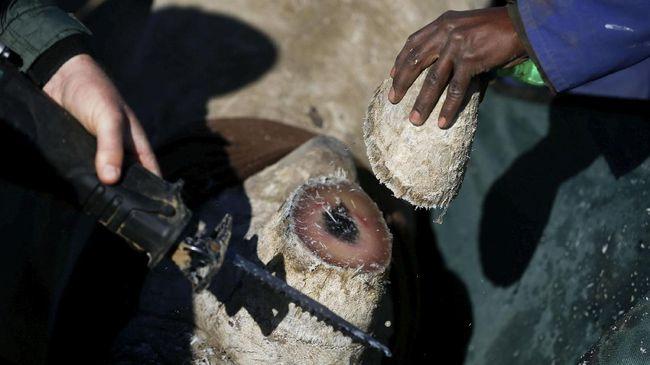 China Bolehkan Perdagangan Cula Badak, Aktivis Murka
