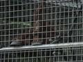 Menjenguk Orangutan di Pedalaman Ketapang