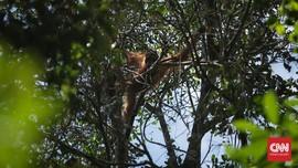 WNA Rusia Selundupkan Orangutan dalam Kondisi Tak Sadar