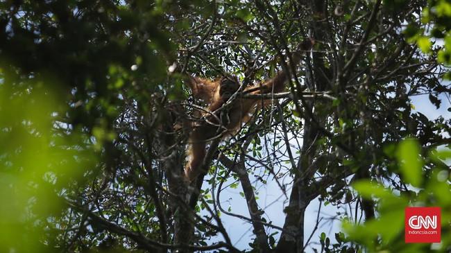 Hutan konservasi yang dimiliki PT KAL menjadi rumah bagi puluhan orangutan jenis Pongo pygmaeus rumbi. Puluhan orang bekerja di sini untuk memantau dan mengasuh mereka.