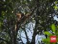 Wisatawan Diminta Batasi Interaksi dengan Orangutan