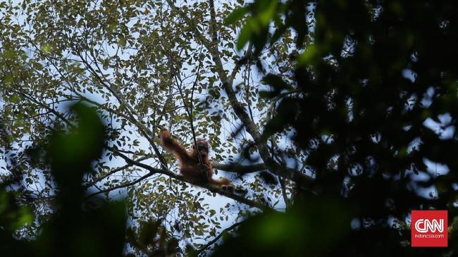 Damai (5), merupakan salah satu orangutan yang diasuh PT KAL. Dari berbagai penelitian ilmiah, disebutkan kalau orangutan memiliki kemiripan DNA sebesar 95 persen dengan manusia.