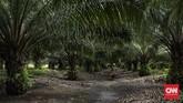 Kalimantan Barat menjadi salah satu penyumbang komoditi kelapa sawit terbesar di Indonesia. Selain itu, Tanah Borneo ini juga menjadi habitat asli orangutan di dunia.