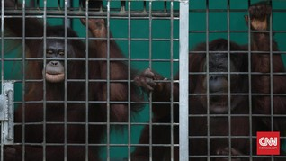 Berbagai Masalah Hidup Orangutan yang Perlu Dipahami Manusia