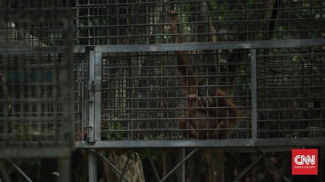 """Bayi orangutan menjadi fokus penyelamatan, karena sering terlantar karena induknya diburu sampai mati. Mereka dilatih di """"sekolah"""" oleh pengasuh hingga percaya diri dilepas di hutan liar."""