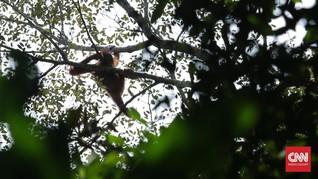 Butuh Rp16 Miliar Untuk Sediakan Habitat Alam Orangutan