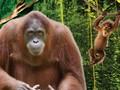 10 Fakta Menarik soal Orangutan