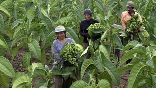 Sampoerna Sebut 70 Persen Kebutuhan Tembakau dari Kemitraan