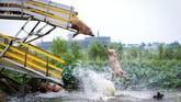 Babi-babi ternak digiring menuju air untuk melatih mereka 'berolahraga'. Ini terjadi di peternakan Shenyang, Provinsi Liaoning, China, 14 Agustus 2017. (REUTERS/Stringer)