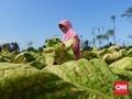 Surati Jokowi, Petani Tambakau Minta Cukai Naik 7 Persen Saja