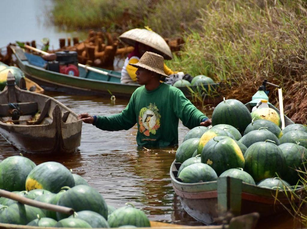 Produktivitas semangka jenis ini mencapai 20-25 ton/ha yang ditingkat petani harga jualnya berkisar Rp 2.000-4.500/kg. Foto: dok. Ewindo