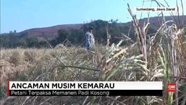 VIDEO: Kemarau dan Ancaman Gagal Panen untuk Petani