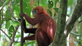Memprihatinkan, Nasib Lutung Merah di Kalimantan